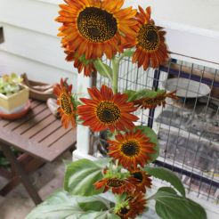Multi-bloom sunflowers