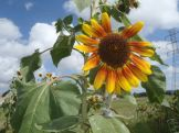 Another lovely sunflower