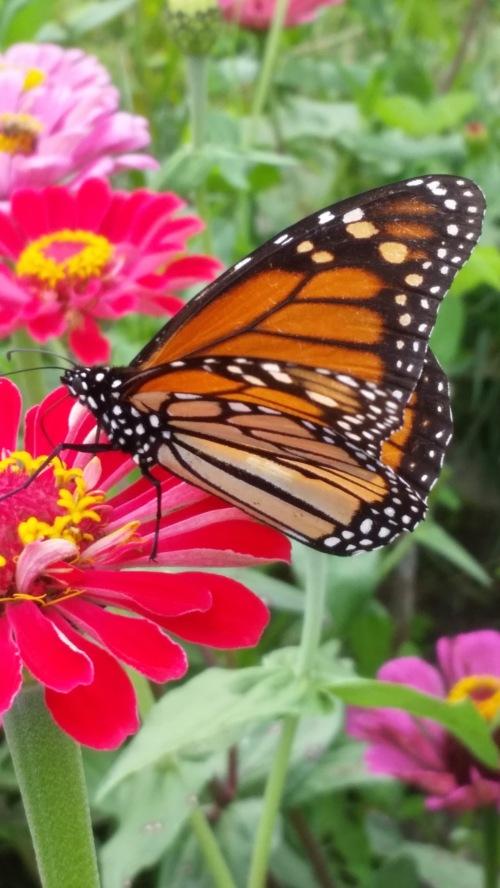 Monarch_115830
